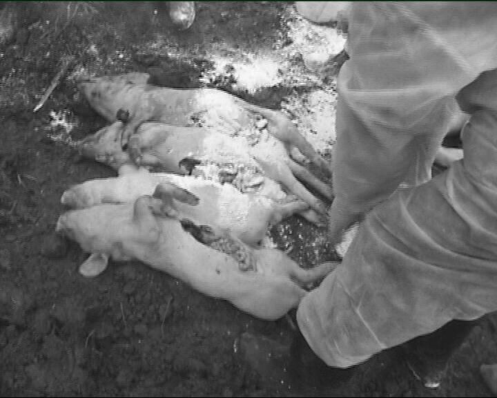 чума свиней ссср