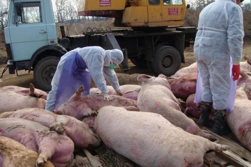 чума свиней1