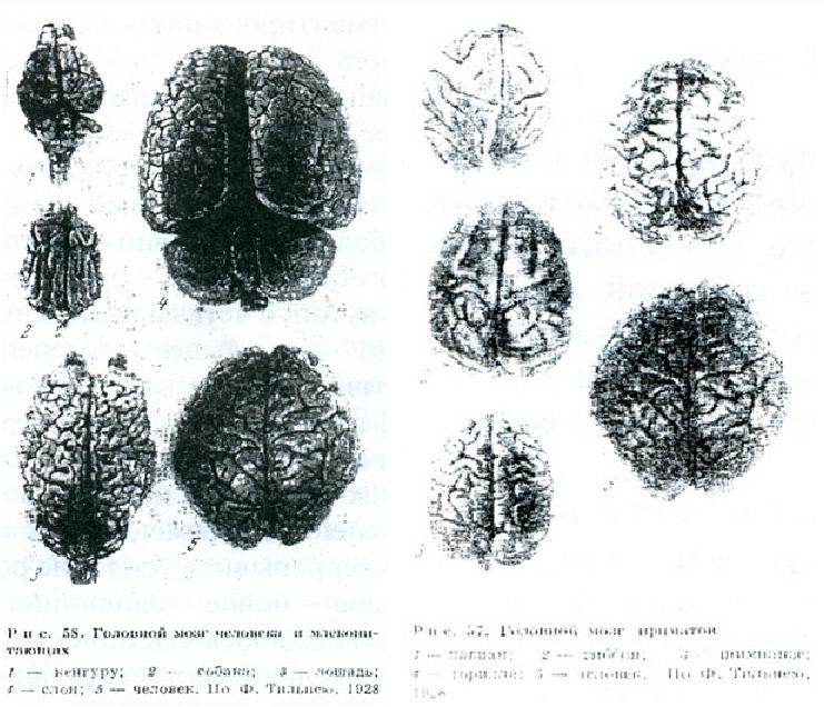 Сравнение головного мозга человека и животных