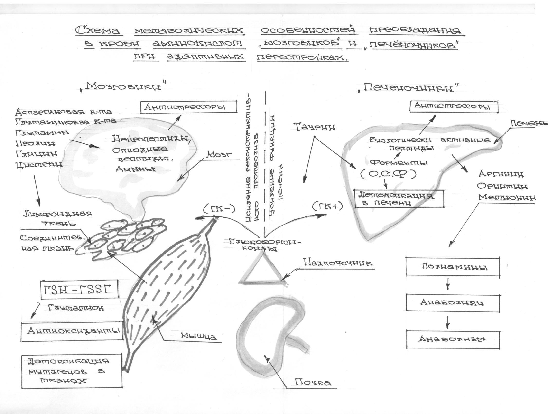 Рис № 3. Схема тетаболических особенностей преобладания в крови аминокислот «мозговиков» и «печеночников» при адаптивных перестройках